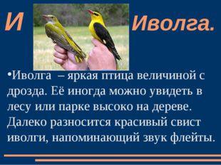 Иволга  – яркая птица величиной с дрозда. Её иногда можно увидеть в лесу или