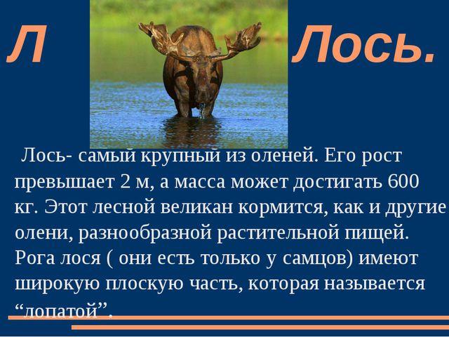 Лось- самый крупный из оленей. Его рост превышает 2 м, а масса может достигат...