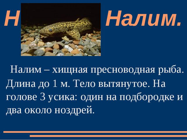 Налим – хищная пресноводная рыба. Длина до 1 м. Тело вытянутое. На голове 3 у...