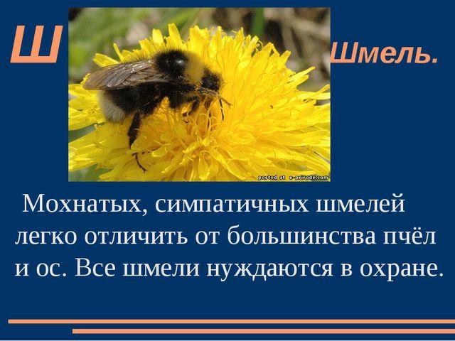 Мохнатых, симпатичных шмелей легко отличить от большинства пчёл и ос. Все шме...