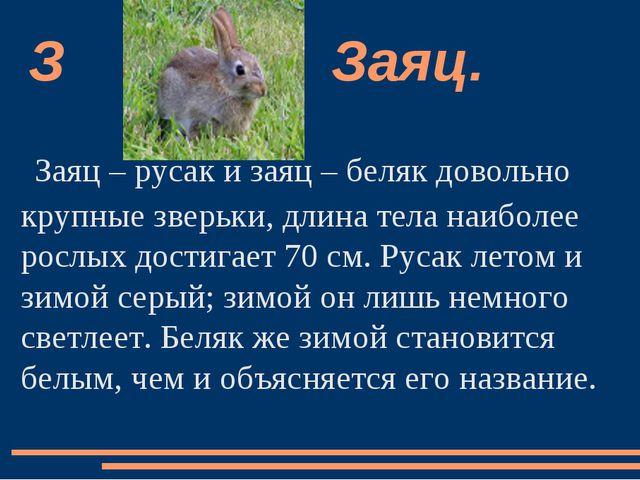 Заяц – русак и заяц – беляк довольно крупные зверьки, длина тела наиболее рос...