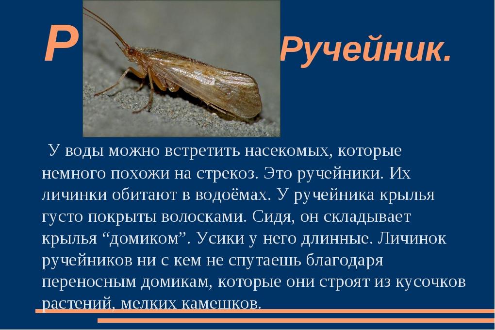 У воды можно встретить насекомых, которые немного похожи на стрекоз. Это руче...
