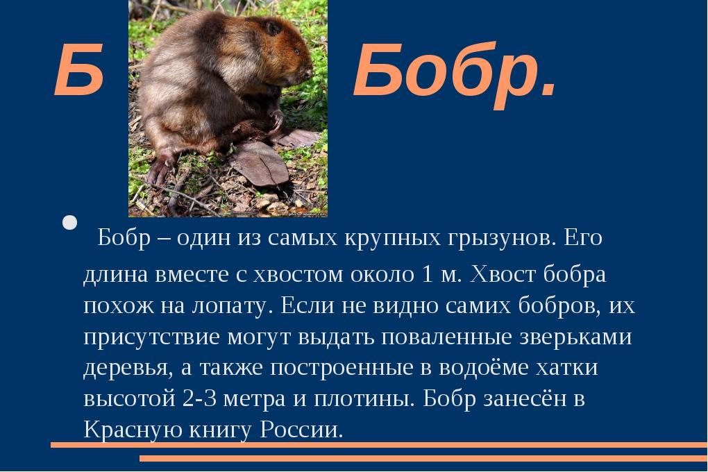Бобр – один из самых крупных грызунов. Его длина вместе с хвостом около 1 м....