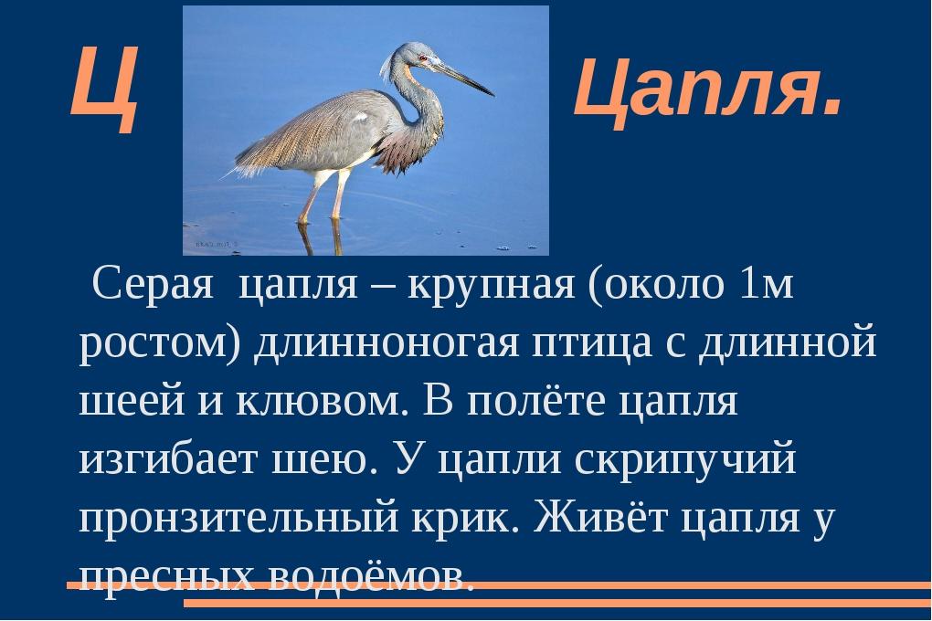 Серая  цапля – крупная (около 1м ростом) длинноногая птица с длинной шеей и к...