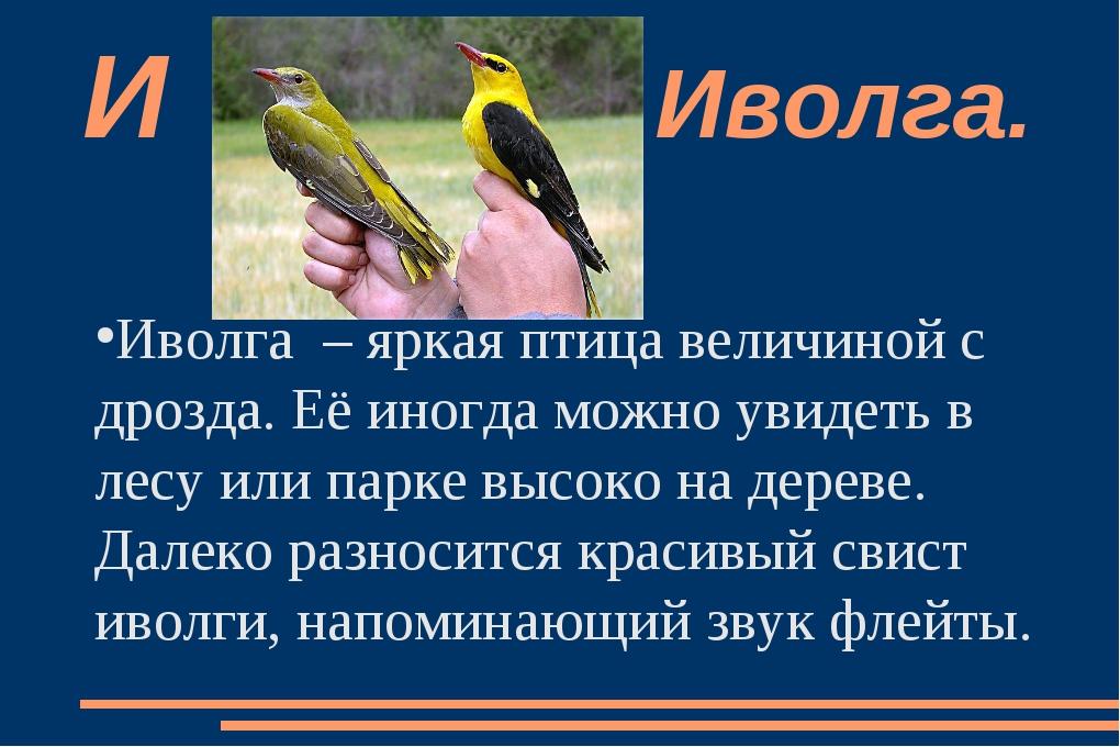 Иволга  – яркая птица величиной с дрозда. Её иногда можно увидеть в лесу или...