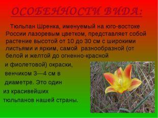 ОСОБЕННОСТИ ВИДА: Тюльпан Шренка, именуемый на юго-востоке России лазоревым ц