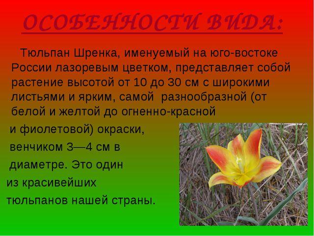 ОСОБЕННОСТИ ВИДА: Тюльпан Шренка, именуемый на юго-востоке России лазоревым ц...