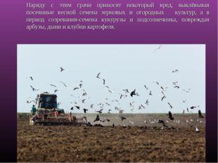 Наряду с этим грачи приносят некоторый вред, выклёвывая посеянные весной семе