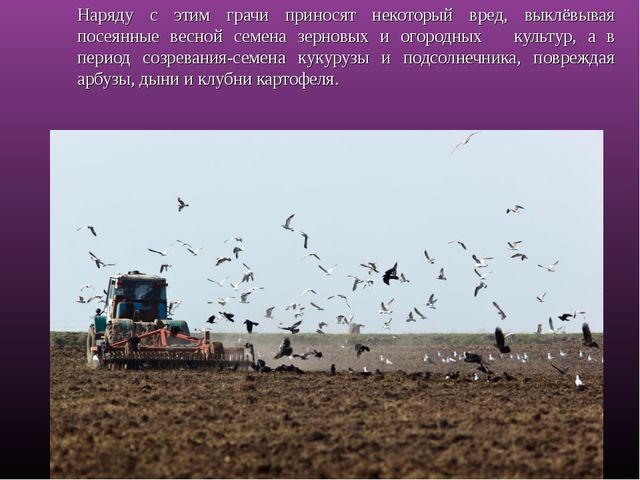 Наряду с этим грачи приносят некоторый вред, выклёвывая посеянные весной семе...