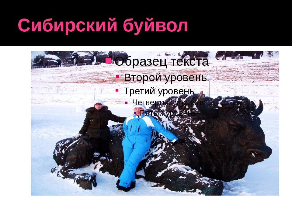 Сибирский буйвол