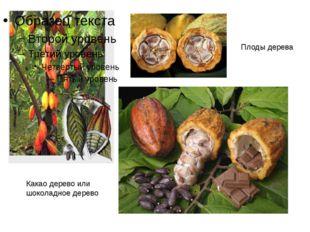 Плоды дерева Какао дерево или шоколадное дерево