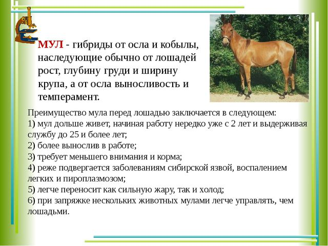 МУЛ - гибриды от осла и кобылы, наследующие обычно от лошадей рост, глубину...