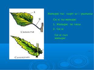 Жапырақтың сыртқы құрылысы Сағақты жапырақ Жапырақ тақтасы Сағақ Сағақсыз жап