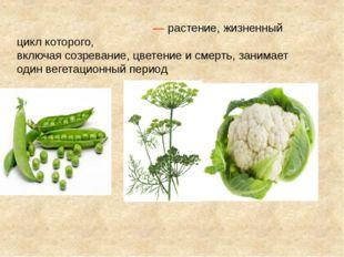 Одноле́тнее расте́ние—растение,жизненный циклкоторого, включаясозревание