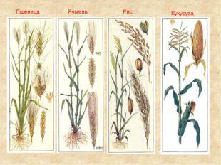 Пшеница Ячмень Рис Кукуруза
