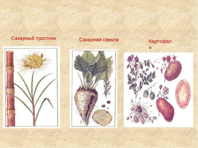Картофель Сахарный тростник Сахарная свекла