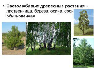 Светолюбивые древесные растения – лиственница, береза, осина, сосна обыкновен