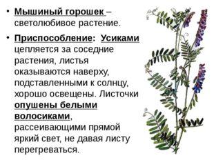 Мышиный горошек – светолюбивое растение. Приспособление: Усиками цепляется за