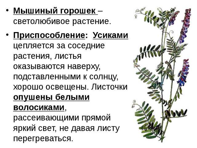Мышиный горошек – светолюбивое растение. Приспособление: Усиками цепляется за...