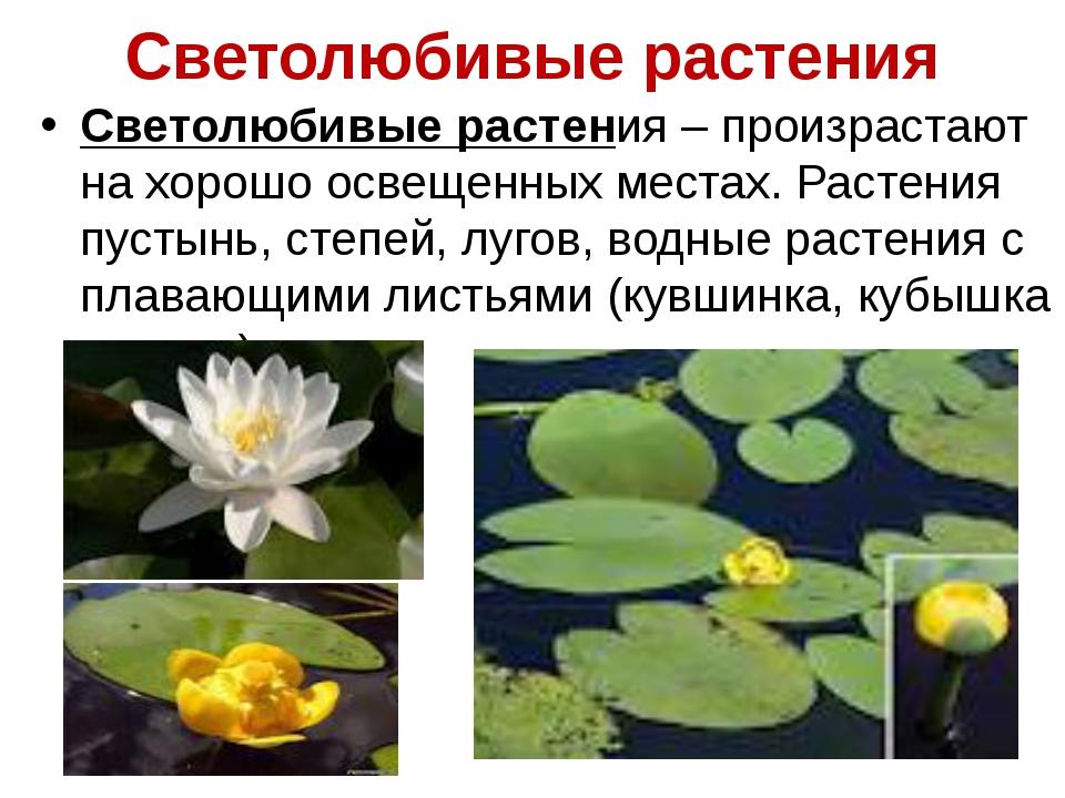 Светолюбивые растения Светолюбивые растения – произрастают на хорошо освещенн...