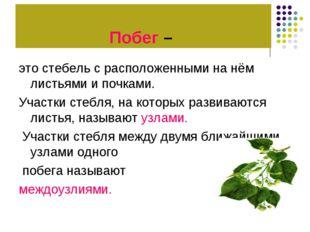 Побег – это стебель с расположенными на нём листьями и почками. Участки стебл