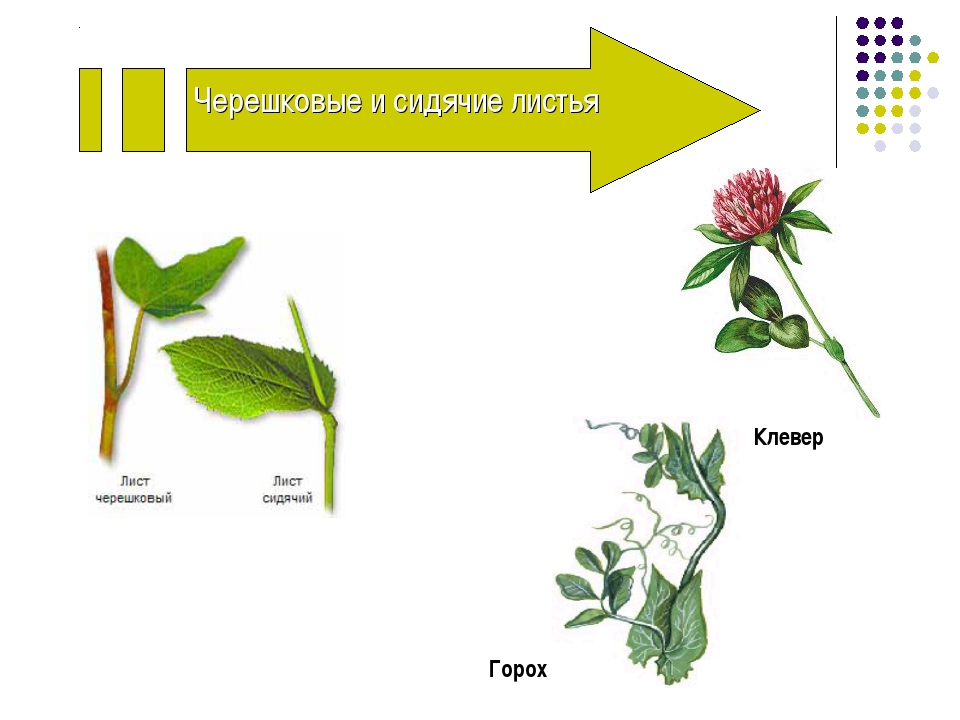 Черешковые и сидячие листья Клевер Горох