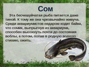 Сом Эта бесчешуйчатая рыба питается даже тиной. К тому же она чрезвычайно жи