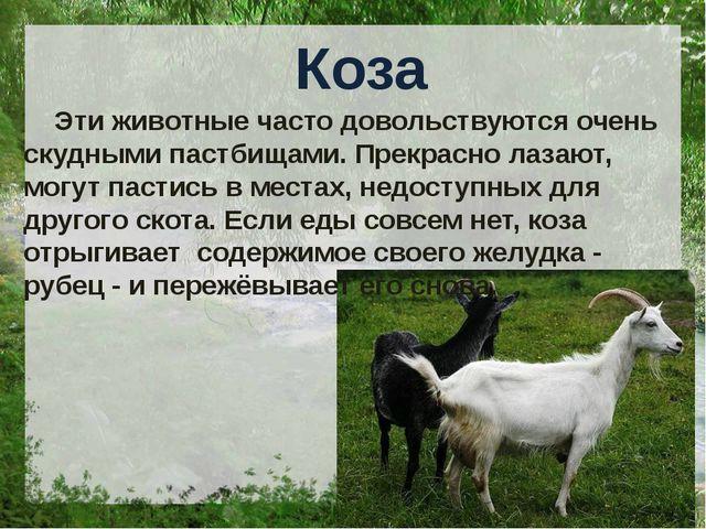Коза Эти животные часто довольствуются очень скудными пастбищами. Прекрасно...