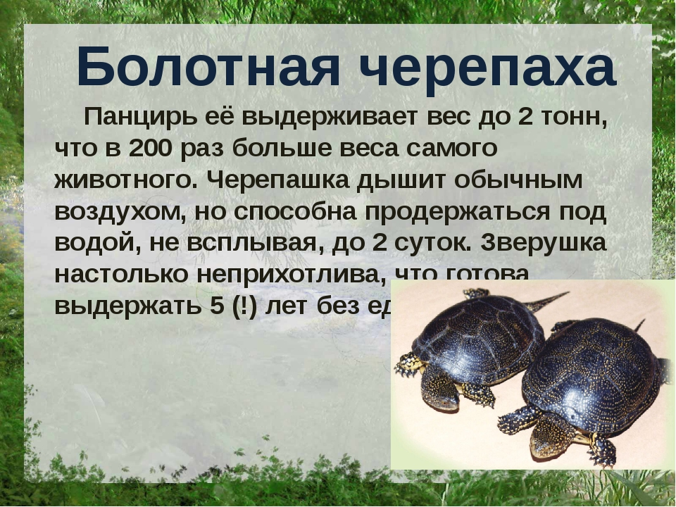Болотная черепаха Панцирь её выдерживает вес до 2 тонн, что в 200 раз больше...