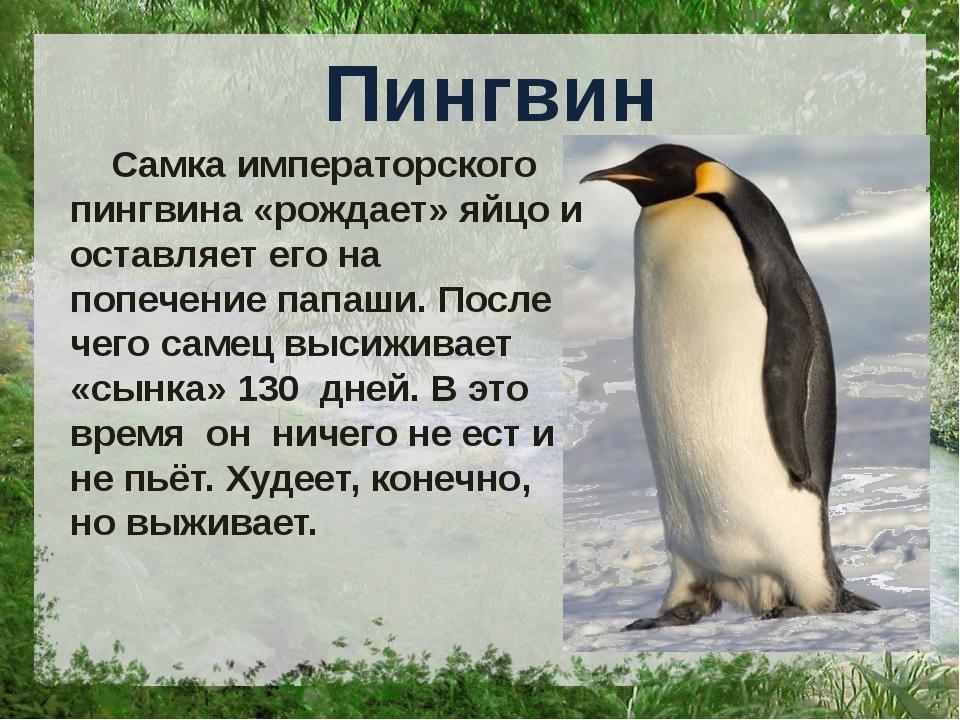 Пингвин Самка императорского пингвина «рождает» яйцо и оставляет его на попе...
