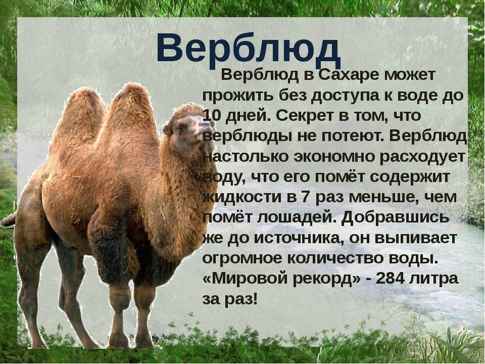 Верблюд Верблюд в Сахаре может прожить без доступа к воде до 10 дней. Секрет...