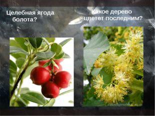 Целебная ягода болота? Какое дерево цветет последним?