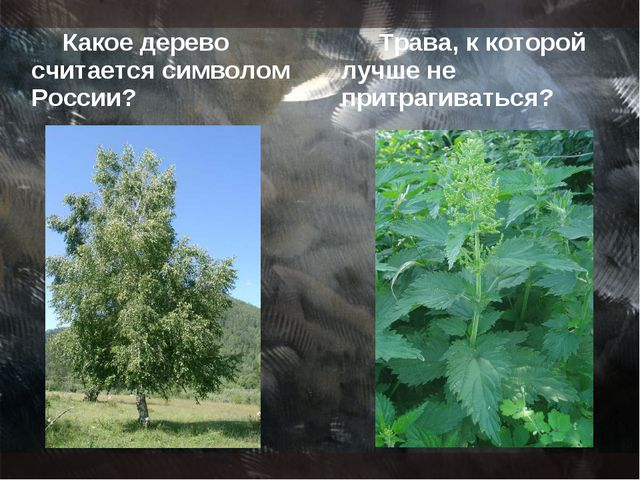 Какое дерево считается символом России? Трава, к которой лучше не притрагиват...