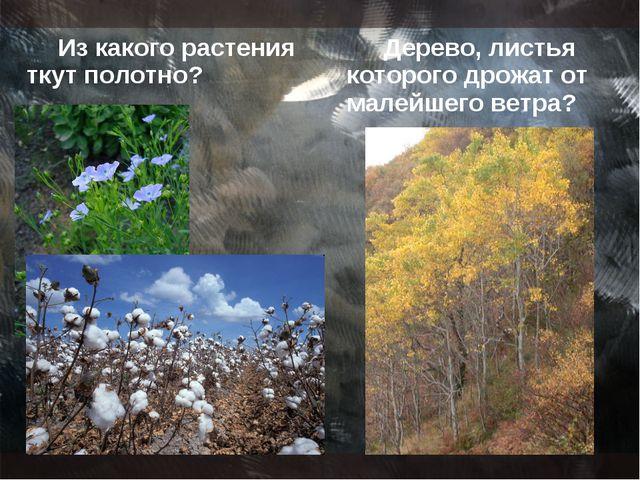 Из какого растения ткут полотно? Дерево, листья которого дрожат от малейшего...