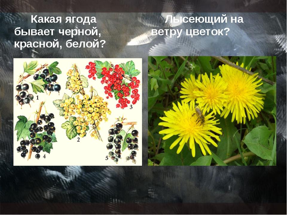 Какая ягода бывает черной, красной, белой? Лысеющий на ветру цветок?