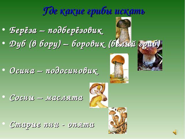 Где какие грибы искать Берёза – подберёзовик Дуб (в бору) – боровик (белый гр...