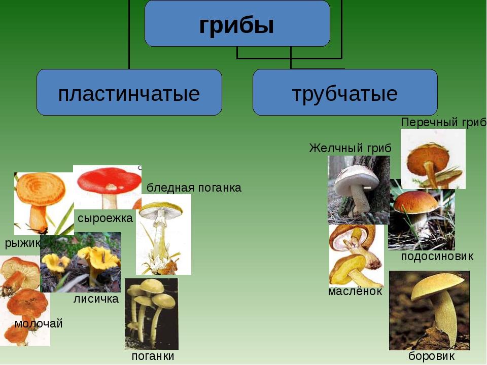 маслёнок боровик подосиновик Желчный гриб Перечный гриб рыжик лисичка сыроежк...