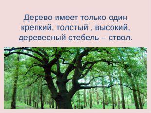 Дерево имеет только один крепкий, толстый , высокий, деревесный стебель – ств