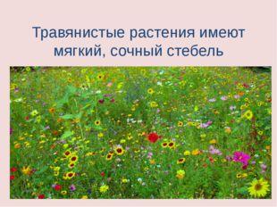 Травянистые растения имеют мягкий, сочный стебель