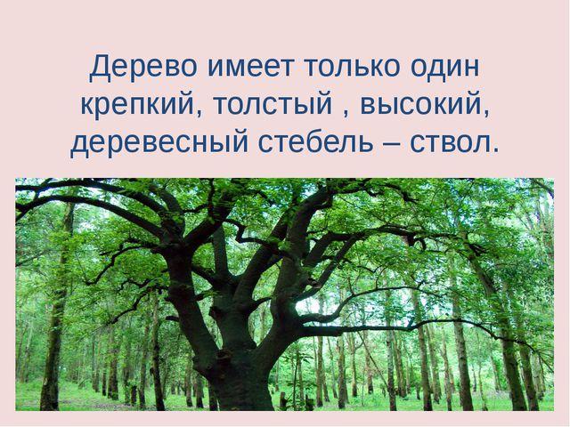 Дерево имеет только один крепкий, толстый , высокий, деревесный стебель – ств...