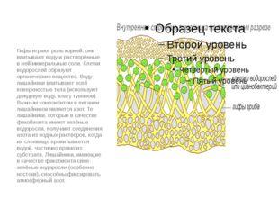 Гифы играют роль корней: они впитывают воду и растворённые в ней минеральные