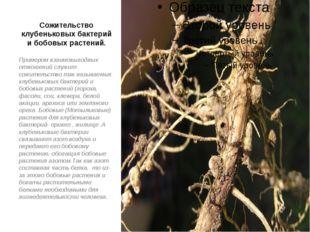 Сожительство клубеньковых бактерий и бобовых растений. Примером взаимовыгодны