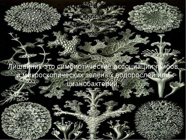 Лишайник-это симбиотические ассоциации грибов и микроскопических зелёных вод...