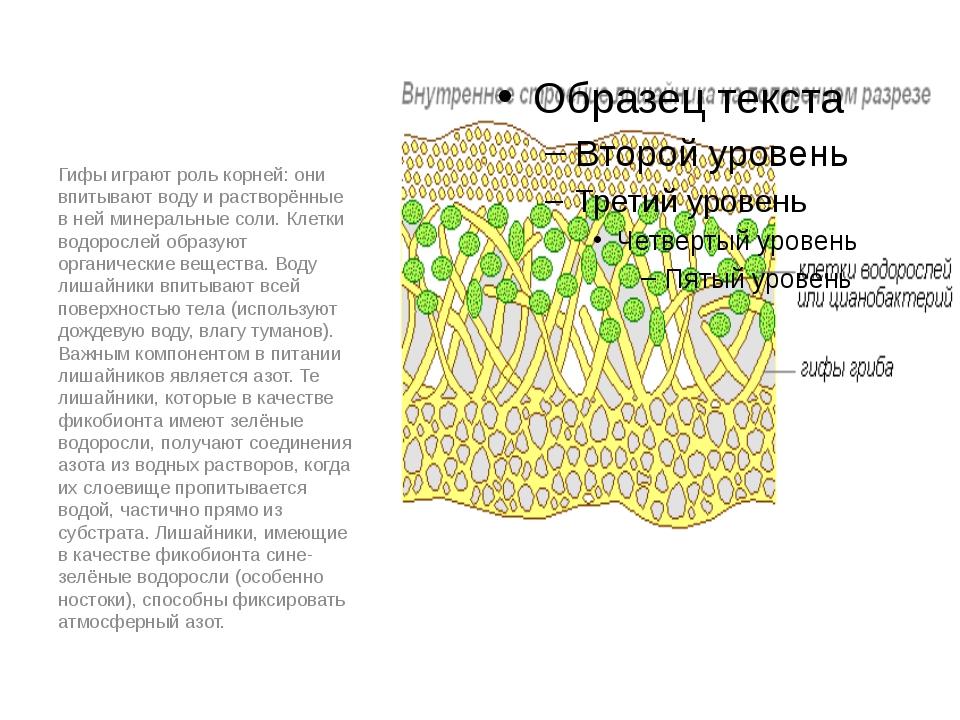 Гифы играют роль корней: они впитывают воду и растворённые в ней минеральные...