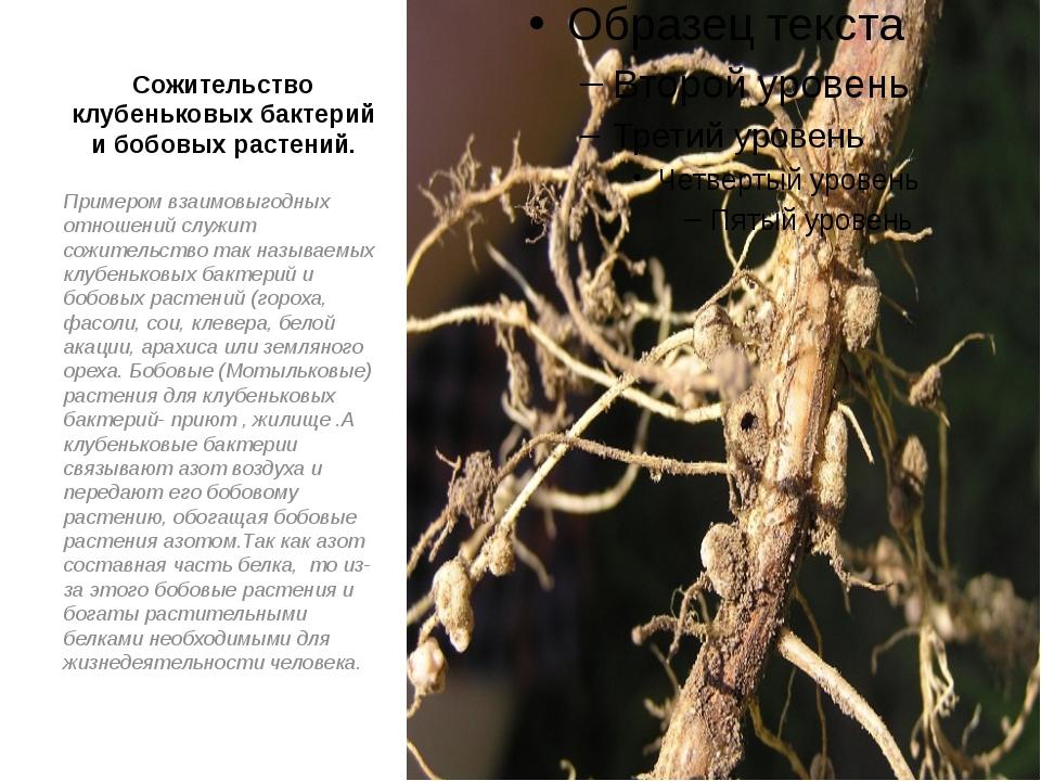 Сожительство клубеньковых бактерий и бобовых растений. Примером взаимовыгодны...