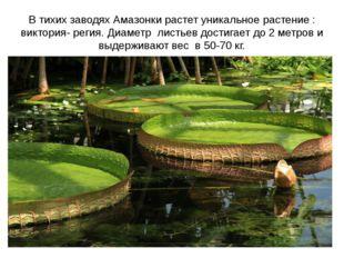 В тихих заводях Амазонки растет уникальное растение : виктория- регия. Диамет