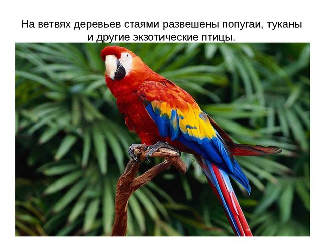 На ветвях деревьев стаями развешены попугаи, туканы и другие экзотические пти...