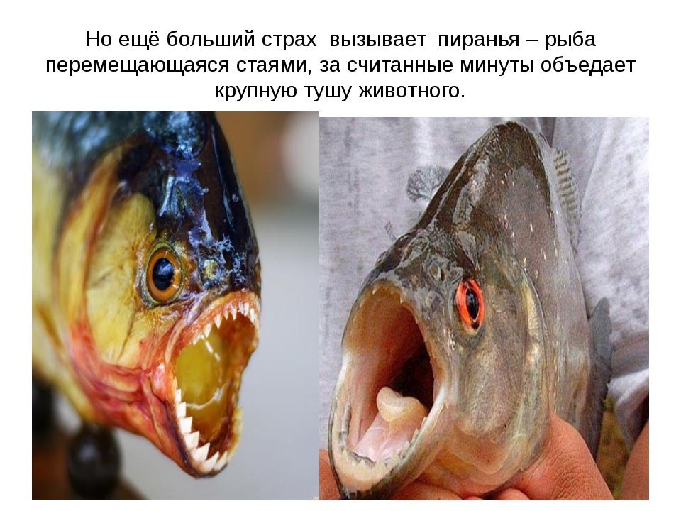 Но ещё больший страх вызывает пиранья – рыба перемещающаяся стаями, за считан...