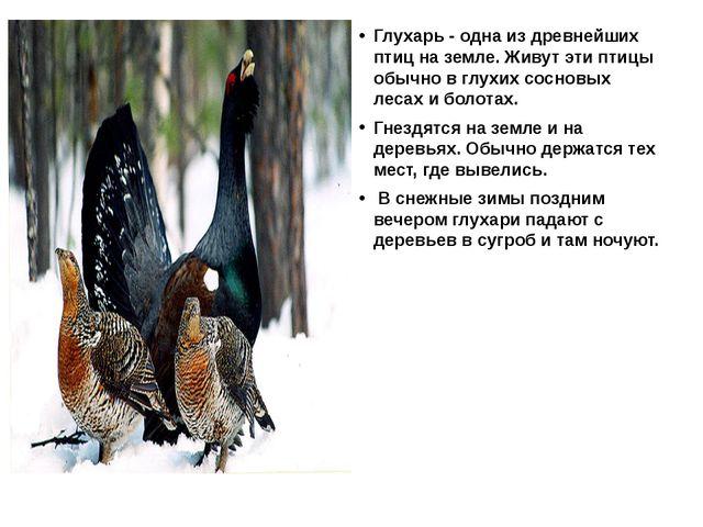 Глухарь - одна из древнейших птиц на земле. Живут эти птицы обычно в глухих...