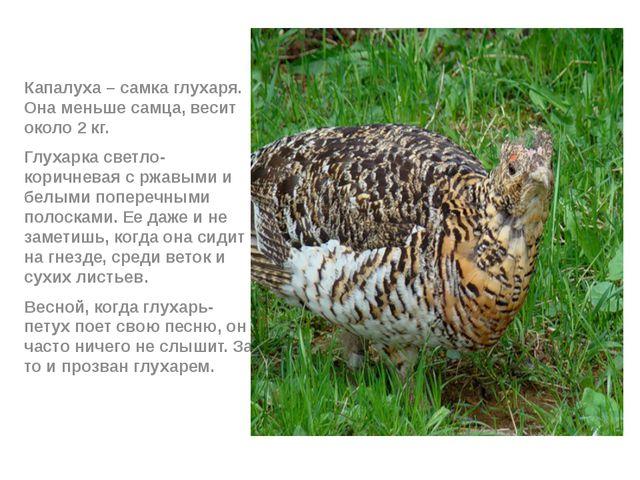 Капалуха – самка глухаря. Она меньше самца, весит около 2 кг. Глухарка светл...